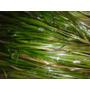Planta Acuatica Vallisneria Gigantes