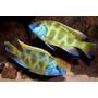Nimbochromis Venustus - Cíclidos Africanos - Lago Malawi