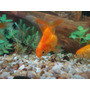 Goldfish Chico Surtido:)!!! Elegi Mundo Acuatico