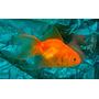 Goldfish Chico Surtido Super Oferta De Mundo Acuatico