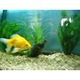 Goldfish Oro De 4 Cm. $ 50 Rio Arena Peces