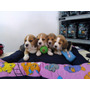 Cachorro Beagles Tricolor