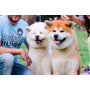 Cachorros De Raza Akita Inu Con Papeles Fca 100% Puros