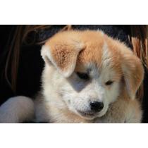 Cachorros Akita Inu Excelente Línea Ultimo Machito