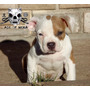 Age Of Meka American Bully Argentina Abkc Hembras Cachorras