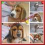 Beagle Tricolor, Cachorros Hermosos