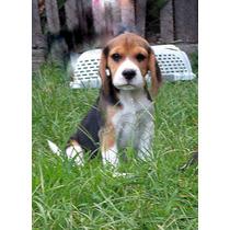 Beagle Macho De Año Y 3 Meses