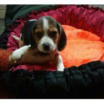 Cachorros Beagle 13 Los Mas Chiquitos-envios-f.c.a-local