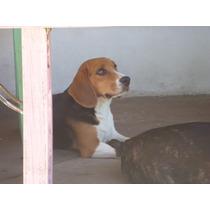 Cachorro Beagle Tricolor Reserva Con 500 Pesos