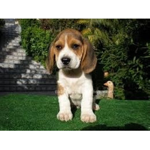 Cachorro Beagles Tricolor Mini