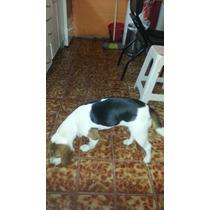 Vendo Hermosa Cachorra De 10 Meses...tricolor..bien Cuidada