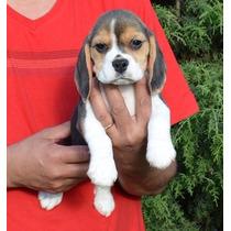 Beagle Hembratricolor Pedigree ...los Mejores