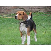 Exelente Beagle Para Servicio