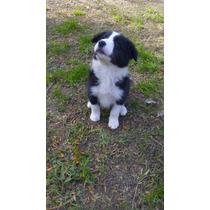 Cachorros De Border Collie Preciosos!!!!