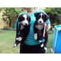 Cachorros Border Collie Nacidos El 08/12 Se Entregan El 22/1