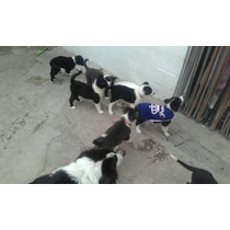 Oferta.. Cachorro Border Collie.vendo O Permuto