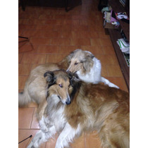 Perros Collies Dorados Cachorros