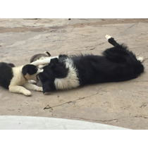 Ofertaaaa Border Collie Cachorros