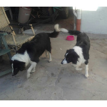 Border Collie Cachorros Ofertaaaaaaaa