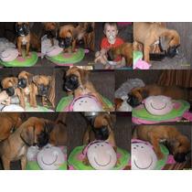Cachorros Boxer Pedigree Fca Excelente Linea Europ/americana