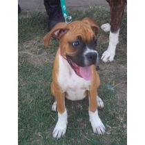Cachorros Boxer 1 Hembra Blanca Y 2 Machos Bayos