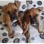Cachorros Boxer Bayos Y Atigrados