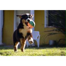 Cachorra Boyero De Berna, 90 Días. Pedigree Fca. Hermosa!!!