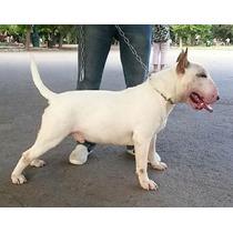 Excelente Macho Bull Terrier Para Servicio Stud Pedigree Fca
