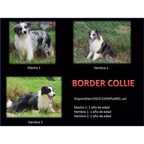 Border Collie Lineas De Belleza, Con Pedigri