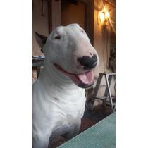 Bull Terrier Monta
