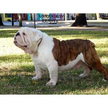 Bulldog Ingles Para Servicio Exelente Pedigree