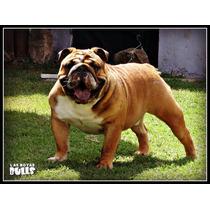 Bulldog Ingles En Serv. De Stud Panchito De Las Boyas Bulls