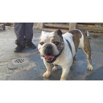 Servicio De Bulldog Ingles