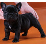 Bulldog Francés Hembra Negra, Fca