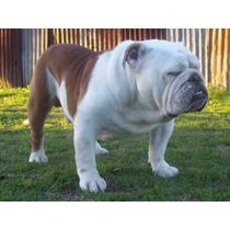 Servicio De Stud De Bulldog Ingles Excelente Sangre!!!