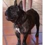 Bulldog Frances .servicio De Monta - Fca (toto Busca Novia)