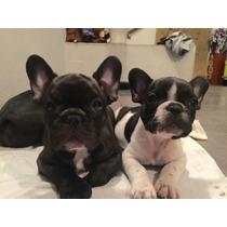 Cachorros Bulldog Frances Hijos De Campeones