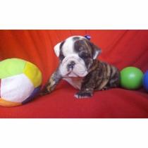 Hembritas Bulldog Ingles
