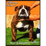 Bulldog Ingles Importado