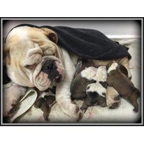 Bulldog Inglés Cachorros Machos Y Hembras . Excelente Linea