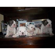 Venta De Cachorros; Bulldog Ingles! Sergio Panunsio