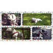 Servicio De Bulldog Inglés-pampa Busca Novia! Boulogne.-
