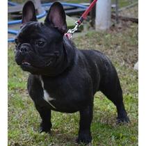 Bulldog Frances Servicio De Stud