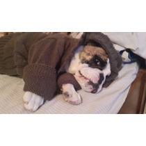 Bulldog Ingles Un Año De Edad Papeles Libreta Sanitaria