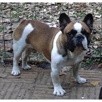 Bulldog Frances Macho Pied Fawn Para Servicio