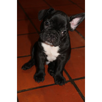 Cachorros Bulldog Frances Negro Pecho Blanco Cachorro