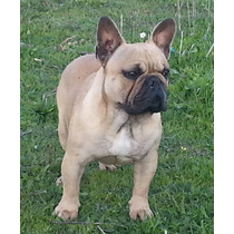 Bulldog Frances Servicio De Stud (importado De España)