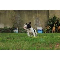 Hermoso Cachorro Bulldog Frances Macho Vaquita Con Fca