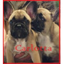 Cachorras Bulldog Frances Machos Color Fawn Con F.c.a