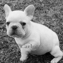 Bulldog Frances Machitos Blancos Y Cremas Con F.c.a